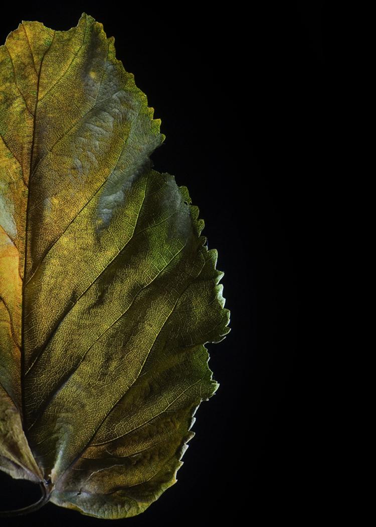 leaf.Edited.750